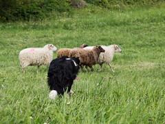 P4230654 (zullo_stefano) Tags: dog pet farm sheep sheepdog herding workingdog shepperd italy nature green fiield olympus e5 zuiko training border bordercollie