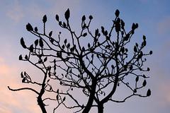Silhouettes (STE) Tags: albero silhouette silhouettes rhus typhina sommaco americano staghorn sumac fuji fujifilm xt20 tramonto sunset rami branches