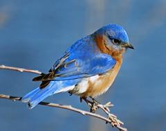 IMG_5388_edited-2 (lbj.birds) Tags: kansas nature flinthills wildlife bird bluebird easternbluebird