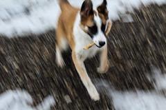 arf (berricook) Tags: dog huskey retriver stick fetch out side outdoors blur blurry blured clear woof arf bark bork