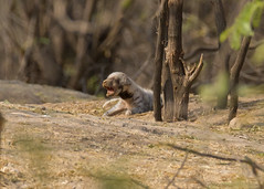 Striped Hyena Cub (Hyeana hyeana) (stuartreeds) Tags: infocus highquality stripedhyena gujarat india babyanimal babyhyena littlerannofkutch wildasssanctuary pup cub