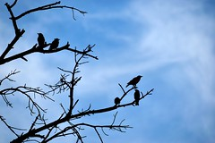 Early morning - Birds all set to tackle another day. (Sriini) Tags: morning birds silhouette blue bare