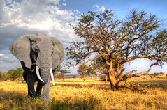 Impressions (PhilHydePhotos) Tags: africa animals elephants mammals safari serengeti tanzania wildlife animalplanet