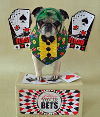 Bailey Puggins Putting On Her Best Poker Face (DaPuglet) Tags: pug pugs dog dogs pet pets animal animals costume cards poker casino playingcards aces ace deal dealer game