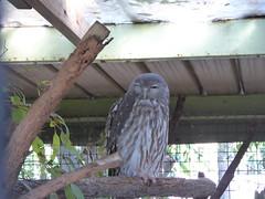 P1030688 (gordonduffus) Tags: barkingowl