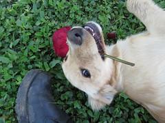 Luna (Ade-lia) Tags: doggistyle luna perro dog rosa roja pasto jardín verde paisaje campo perra kiltra loca kiltros mala bototo barro tarde