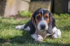 IMG_8302 (BFDfoster_dad) Tags: basset hound puppy