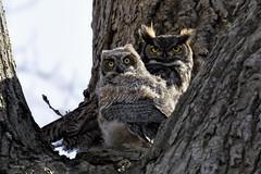 Great Horned Owl (shimmer5641) Tags: bubovirginianus greathornedowl greathornedowladult greathornedowljuvenile raptor birdofprey birdsofbritishcolumbia birdsofnorthamerica tigerowl hootowl