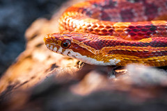 Corn Snake-6523 (Audrey R. Smith (NatureQuest)) Tags: elaphe floridanature floridareptile floridawildlife cornsnake movement orange redratsnake scales slither snake spring undulate warmcolors warmtones