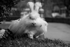 Easter Bunny (wigerl - herwig ster) Tags: hase bokeh carinthia lovely europa austria jpeg licht light wiese easter foto 2017 monochrome fujixf18135mm fujixt1 blackandwhite fuji ostern bunny kärnten europe bw österreich