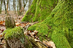 Green socks (Miki216) Tags: moss lichen tree wood nature winter season trip green leaves nikon