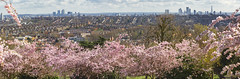 View from the South Terrace, Alexandra Palace (Katy/BlueyBirdy) Tags: panorama alexandrapalace southterrace spring blossom view skyline canarywharf onecanadasquare cityoflondon thegherkin 30stmaryaxe tower42 theshard walkietalkie herontower barbican london haringey