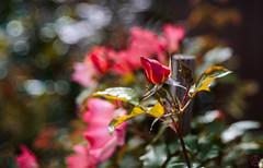 ILCE-6000-06693-20170415-1428-Pano // Carl Zeiss Jena Tessar 50mm 1:2.8 (Otattemita) Tags: 50mmf28 carlzeissjena carlzeissjenatessar50mmf28 florafauna fauna flora flower nature plant wildlife carlzeissjenatessar50mm128 sony sonyilce6000 ilce6000 50mm cnaturalbnatural ota