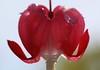 coeur de marie (jacquescornet44) Tags: flore fleur flower coeur marie gouttelettes graphisme jardin