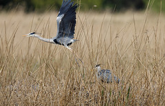 Grey heron nest changeover #3 of 3 (Steve Balcombe) Tags: bird grey heron ardea cinerea nest chick reeds reedbed phragmites rspb hamwall avalonmarshes somerset levels uk