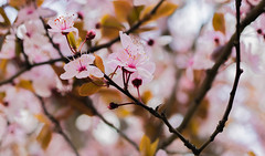 Sakura (sirenajing) Tags: nature cherryblossom sakura season springtime spring outdoors bokeh 50mm canoneos750d pink style fantacy mood imagination atmosphere yellow trees leaves white red brown