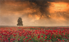 Poppies (Jean-Michel Priaux) Tags: paysage landscape flower flowers poppies red champ field photoshop nature art tree lonely lonesome clouds terrific sunset rouge fleurs coquelicots