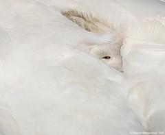 With an eye open (v4vodka) Tags: bird birding birdwatching animal nature wildlife outdoor waterfowl swan muteswan cygnusolor labedz labedzniemy longisland newyork labadek