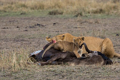 Mum this is really tough (Ring a Ding Ding) Tags: 2017 africa bigcat kenya kitcheche lion olareorek pantheraleo action baby cat cub eating kill motherandbaby nature predator safari wildcat wildlife narokcounty