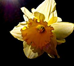 Daffodil trumpet (3) (ronramstew) Tags: daffodil trumpet yellow flower stmichaels aigburth liverpool mersey merseyside garden
