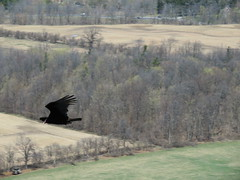 Gliding turkey vulture (Sean_Marshall) Tags: burlington ontario niagaraescarpment brucetrail trail halton conservationarea mountnemo spring