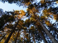 Winter light, The Hermitage, Dunkeld (Niall Corbet) Tags: scotland perthshire dunkeld hermitage nationaltrust nts winter pine light