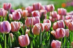 Into the Pink (NATIONAL SUGRAPHIC) Tags: internationalpeacepark türkiye yenitürkiye newturkei turkei naturephotography doğafotoğrafçılığı mothernature annedoğa fairytales istanbul tulips laleler türkiyeninlaleleri tulipsofturkei tulipland flowers çiçekler ayhançakar nationalsugraphic sugraphic uluslararasıbarışparkı zeytinburnu yedikule yedikulesoğanlıbitkiparkı