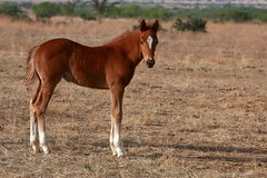 ♡ Wild Child (It Feels Like Rain) Tags: wildchild gypsysoul rebelgirls westtexas westtexasranches ranch ranching ranches fillies 2017foals 2017fillies texas americanquarterhorseassociation aqha horse equine caballo cheval his