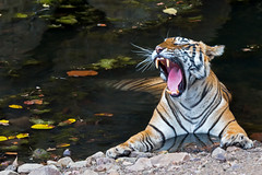 514 Day 3 Tigers (brads-photography) Tags: coolingdown coolingoff female headon india laiddown laying mala mouthopen nationalpark noor pantheratigristigris rajasthan ranthambore reflection resting royalbengaltiger sawaimadhopur t39 tiger tigerreserve water waterhole wildlife