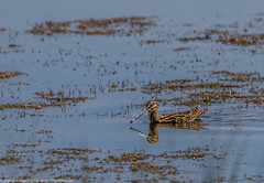 9Q6A5257 (2) (Alinbidford) Tags: alinbidford alancurtis brandonmarsh greyheron greylaggoose snipe moorhen yellowwagtail