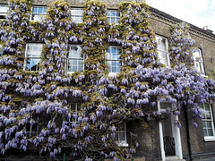 2017-04-23_Fullers13 (Ungry Young Man) Tags: brewery london plant bloom wisteria spring blauregen blueht fruehling blooming springtime chiswick west