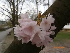 P4050005 , Japanese cherry blossoms (guenter.huth) Tags: japanische kirschen