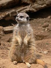 Meerkat Memphis (Brownie Hawkeye Pics) Tags: meerkat zoo animal memphis nature hairy stately pose portrait