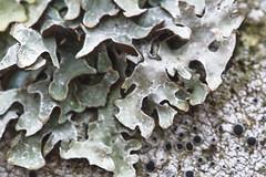 Lichen Worlds (brucetopher) Tags: leafy lichen fungus rock blackeyelichen blackeye eye dot dots spore spores mini tiny life flora fungi 7dwf