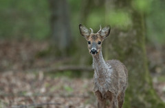 Young (Eric Penet) Tags: mormal animal sauvage avesnois printemps avril wildlife wild mammifère mammal france faune forêt forest cervidé brocard mâle chevreuil roe roedeer