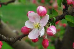 Ябълков цвят (sevdelinkata) Tags: flower garden bulgaria