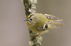 Goldcrest (J J McHale) Tags: goldcrest regulusregulus bird nature wildlife scotland highlands