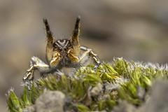 Spring ritual (Tom Rop) Tags: aelurillus vinsignitus jumping spider araignée sauteuse arachnide araneomorphae araneae arachnida animal macro nature canon 600d sigma 105mm salticidae