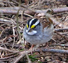 White-throated Sparrow, Swan Lake (kellermartha453) Tags: whitethroated sparrow birdsong mnemonic old sam peaboy oh sweet canada song foraging swan lake victoria bc sunday birding group liam singh uncommon breeding range winter months summer