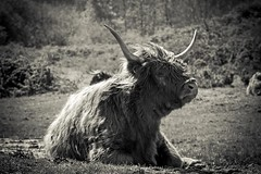 Highland Cow (Gerwin Filius) Tags: highlandcow highlandcattle zeeland walcheren nederland netherlands canon7d canonef70200mmf4lisusm holland canon70200mm cow koe blackwhite zwartwit