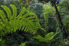 Helechos (Jorge De Silva R) Tags: chiapasmexico jorgesilva reserva de la biosfera el triunfo nature legado verde helechos ferns