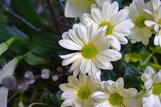White Daisy with green eye.