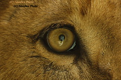 Eye of a Lion - Auge des Löwen (Noodles Photo) Tags: pantheraleo löwe lion tsavo duisburg zooduisburg zoo auge eye groskatze carnivora cat canoneos1dmarkiii ef100400mmf4556lisusm