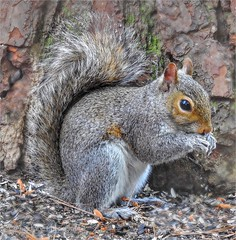 Eastern Gray Squirrel (AngelVibePhotography) Tags: animals spring nikon squirrels springtime squirrel macro rodent outdoors closeup nature northcarolina nikonp900 photography graysquirrel wildlife depthoffield easterngraysquirrel