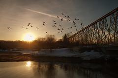 Tracel, Rivière Cap-Rouge (Patrice StG) Tags: sony a7ii 1835mmf3545g nikkor1835g printemps spring gimp sun soleil couchant coucherdesoleil sunset birds oiseaux pigeons pont bridge river rivière backlit contrejour