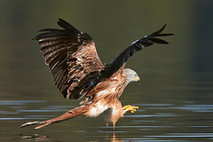 Red Kite fishing (geonix_) Tags: birds raptors kites red kite milvus fishing müritz