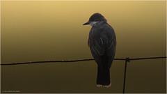 In search of breakfast (Chris Lue Shing) Tags: gormley ontario canada ca nikond7100 tamronsp150600mmf563divcusd bird farm nature ©chrislueshing kingbird easternkingbird fence wire nikon tamron 150600 150600mm animal d7100 sunrise morning backlight