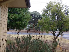 20Apr17  #CF17 #Spiky  Not all spiky things are sharp.  My lavender will return later in the year. It's a haven for honey bees.  After today's rain, stepping outside, the only smell is the gum tree across the road.  What a lovely clean smell.