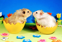 Siblings in Eggs ~ Gucio & Bulinka (pyza*) Tags: gucio bubu hamster hammie syrian syrianhamster animal pet rodent critter furry fluffy easter egg holidays spring pyza