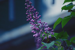 Fragile Beauty (Giulia Gasparoni) Tags: fragile beauty delicate beautiful flower flowers macro plants nature amazing wonderful earth violet indie retro vintage dream dreamy aesthetic photography colorful